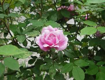 ぴんくの薔薇