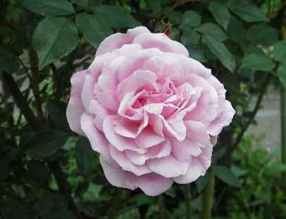 大きな薔薇