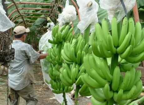 bananerasEC.jpg