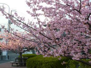 300桜2012.3