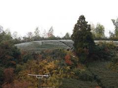 裏山の茶畑、うっすら雪化粧