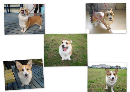 2011-11-14 嵐 くぅ♀ ミュウ♀ ロイ♂ こはる♀ コーギ2