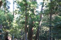 松の木.jpg