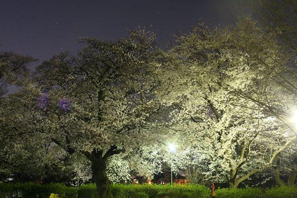 八幡公園の夜桜☆
