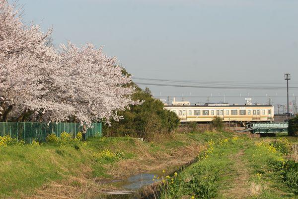 桜と211系