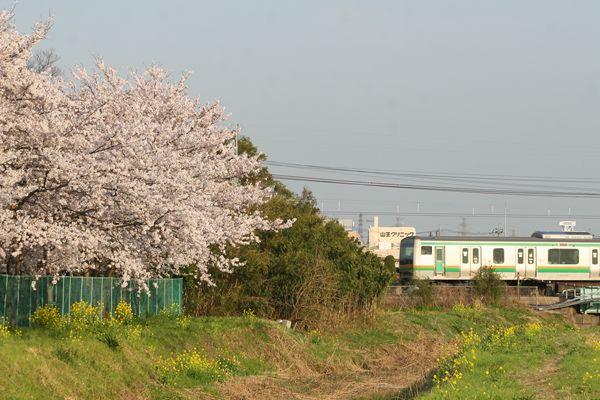 桜とE231系