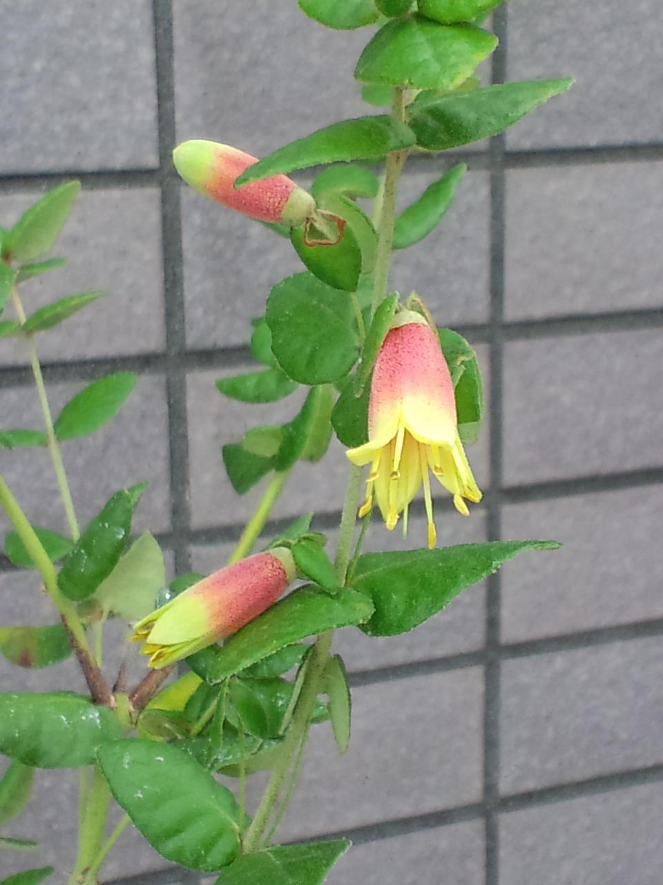コーレアの花