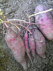「芋掘り」