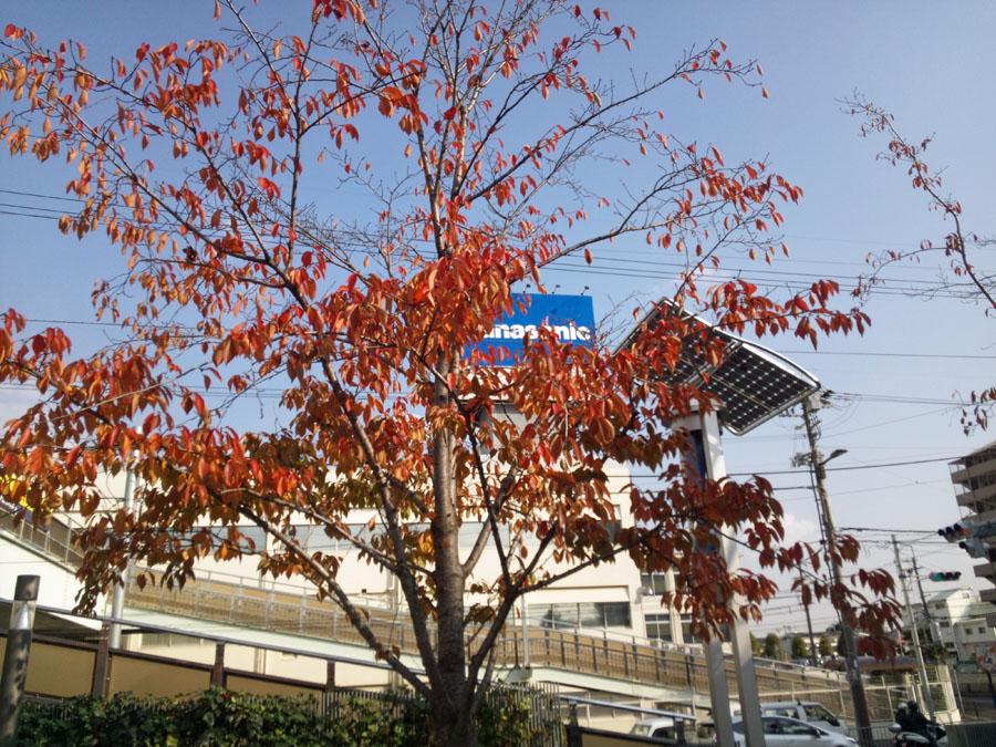 20131130_秋の桜_4