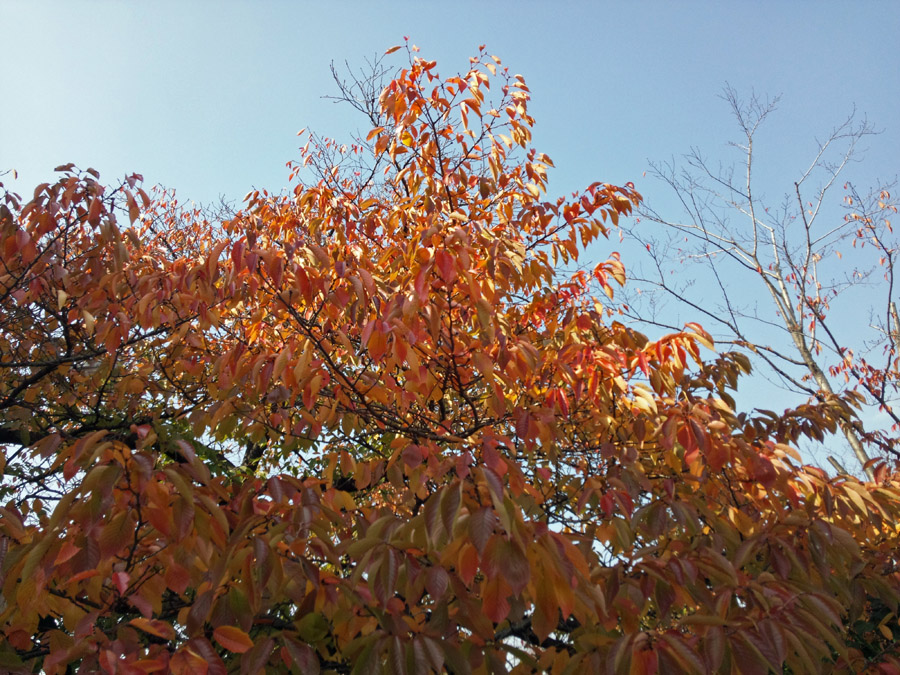 20131130_秋の桜_2