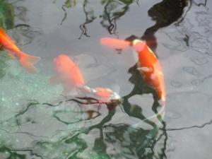 金魚 a(2)