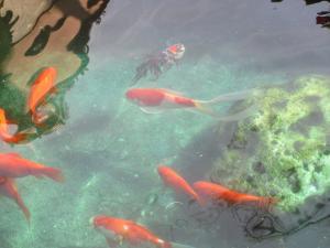 金魚 d(15)