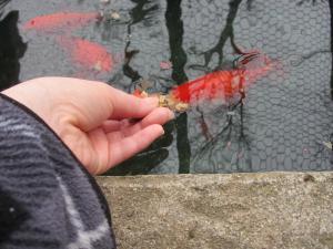 金魚 f(25)