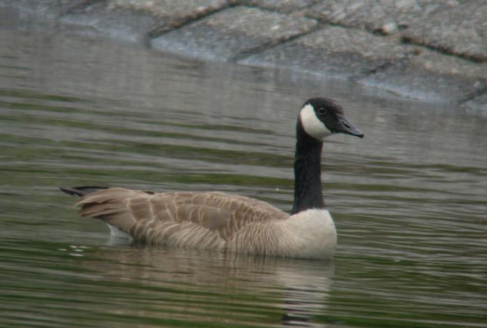 2009-6-6カナダガン