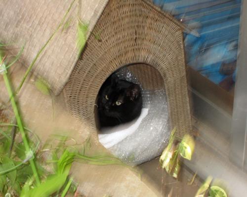 目白の黒猫