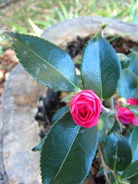 椿の花が咲きました-1, 2014-11-1