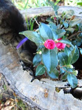 椿の花が咲きました-3, 2014-11-1