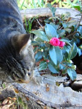 椿の花が咲きました-4, 2014-11-1