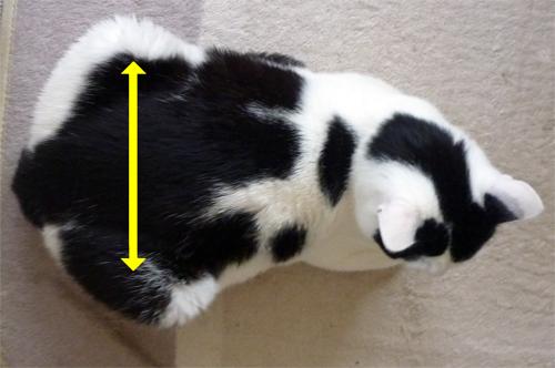 香箱座りの猫をうえから見た時の下半身の幅