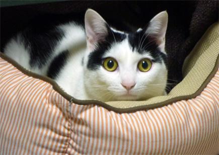 ペットベッドの猫