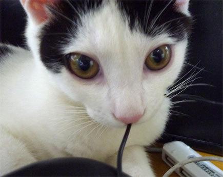 コード咥える猫