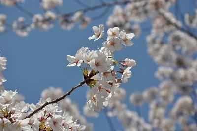 大川桜1DSC_0576 (2)