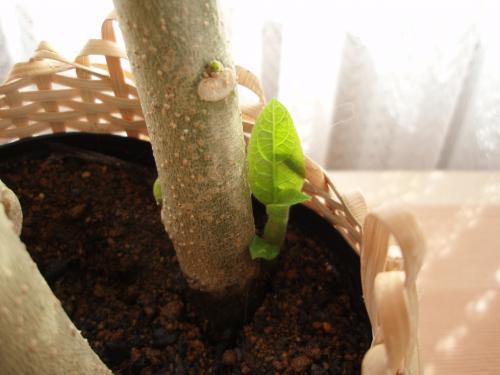 新芽が出ています