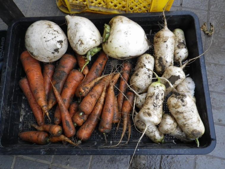収穫根菜14_02_08