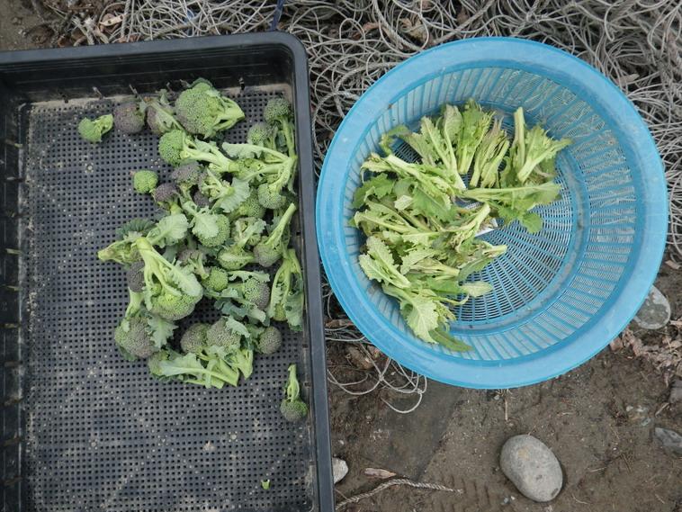 収穫菜花14_02_15