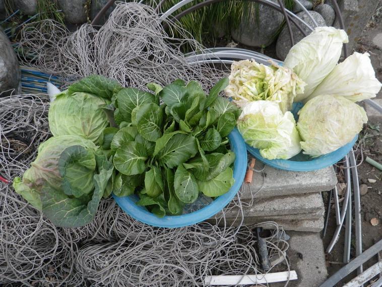 収穫葉物14_02_15
