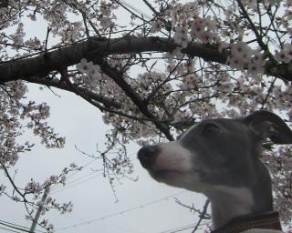 桜とこむぎ
