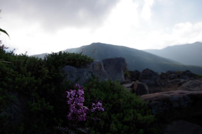 20120831-0902薬師岳のお花09