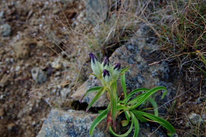 20120831-0902薬師岳のお花15