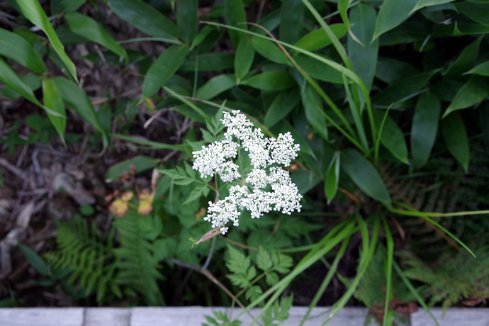20120831-0902薬師岳のお花19
