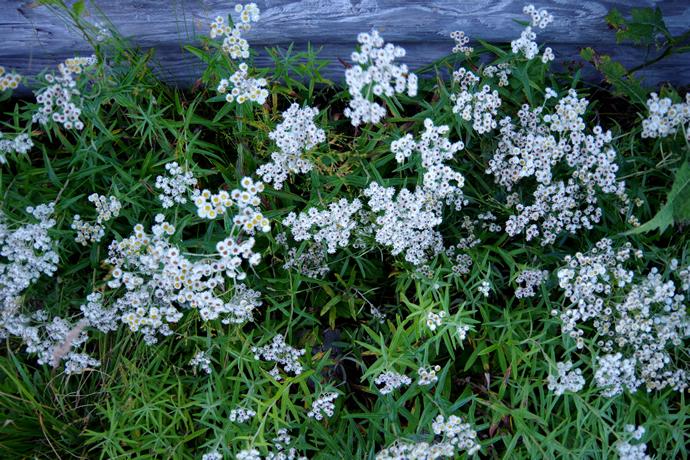20120831-0902薬師岳のお花20