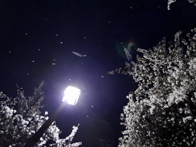 街灯と舞い散る桜