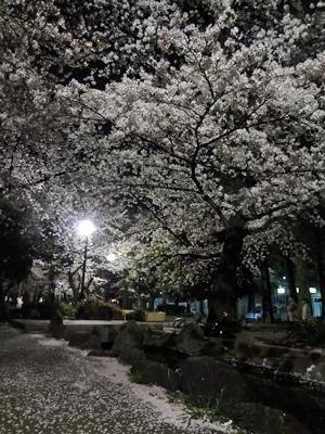 東綾瀬公園の夜桜