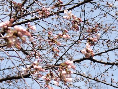 4/1の桜