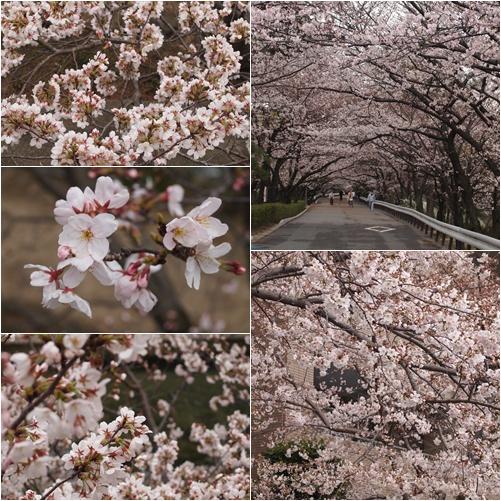 桜4月6日