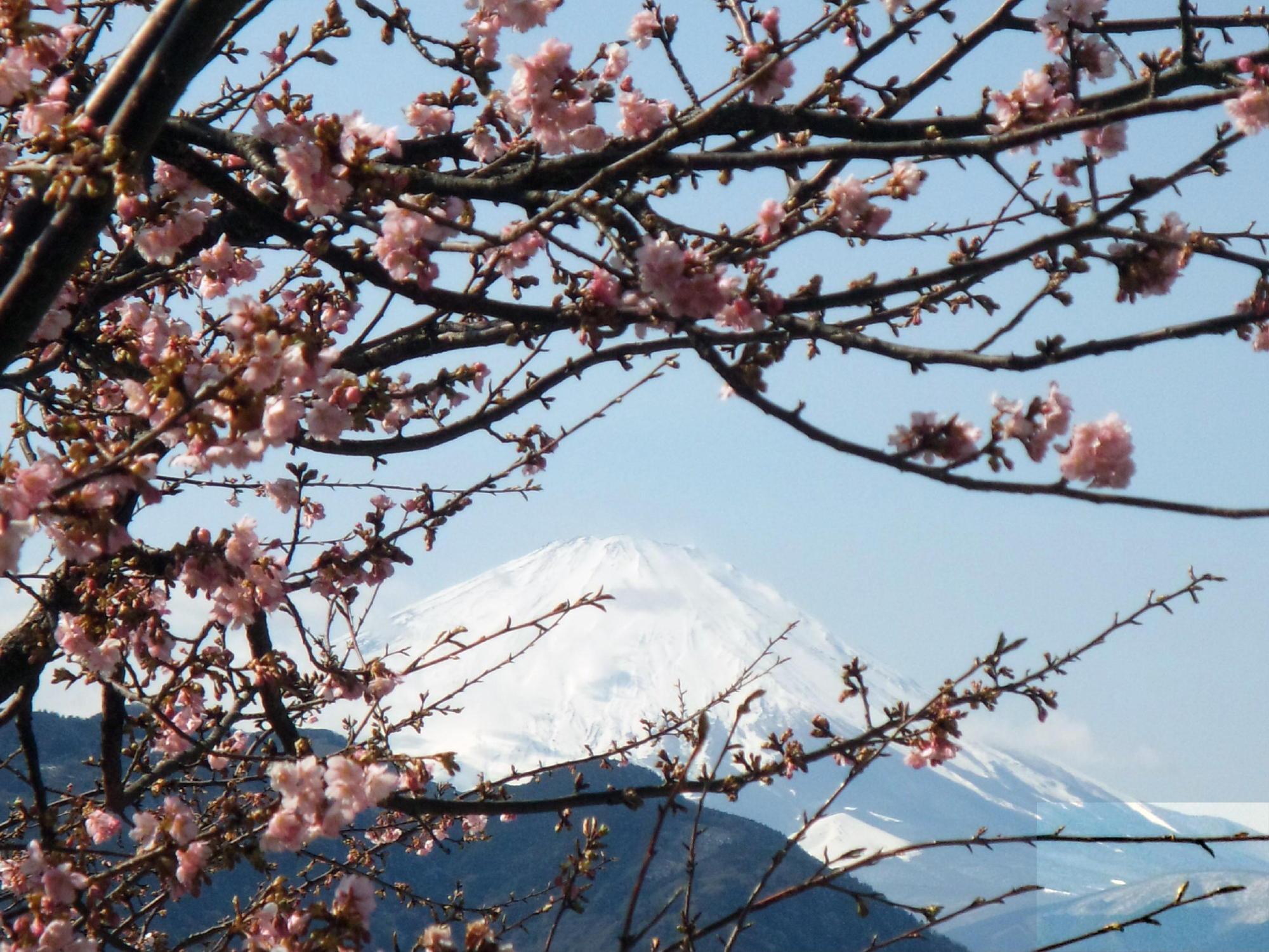 来年2月予定の桜の花見