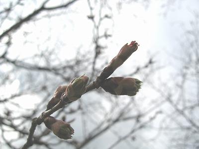 桜蕾1.jpg