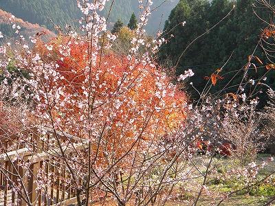 冬桜 061.jpg