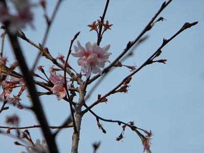 冬桜 085.jpg