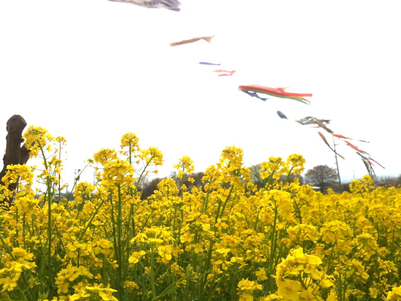 高倉菜の花畑
