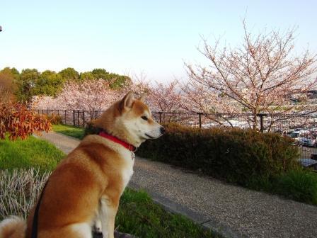 下河原緑地の桜