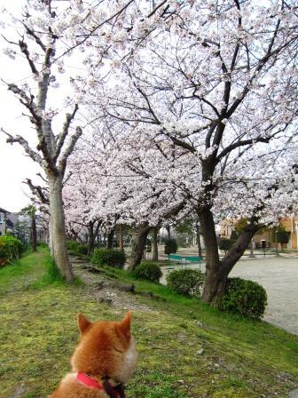 豊島野公園の桜