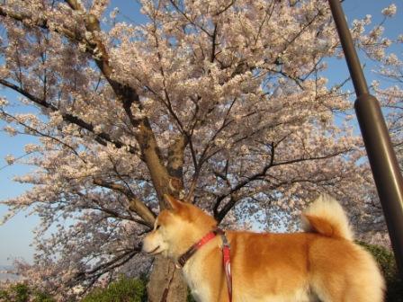水月公園の桜