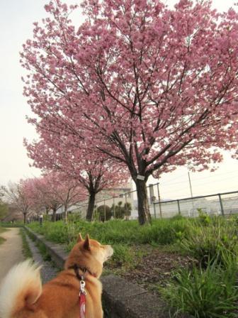 夫婦池の桜