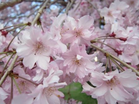 玉坂公園の桜