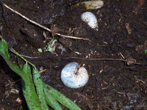 カブトムシ幼虫1